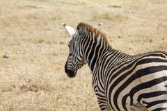 Сафари кратера Ngorongoro Стоковое Изображение RF