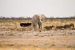 сафари Намибии стоковая фотография