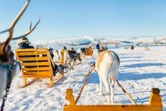 Сафари северного оленя стоковые фотографии rf