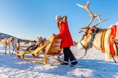 Сафари северного оленя стоковая фотография rf