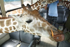 сафари giraffe стоковые изображения rf