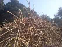 Сахарные тростники Стоковое Изображение