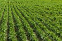 сахарный тростник Вьетнам провинции плантации khanh hoa Стоковое Изображение