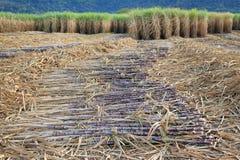 Сахарный тростник жать сезон, Таиланд стоковые изображения