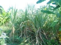 Сахарный тростник стоковое фото rf