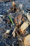 Сахарный тростник младенца Стоковая Фотография RF