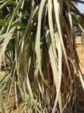 Сахарный тростник дома Стоковая Фотография