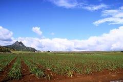 сахарный тростник плантации Стоковые Изображения RF