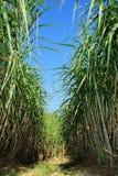 сахарный тростник плантации Стоковые Изображения
