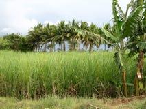 сахарный тростник поля Стоковые Изображения RF