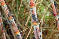 Сахарный тростник свежий, сахарный тростник плантации, ферма сахарного тростника, сахарный тростник предпосылки, земледелие сахар стоковые изображения rf