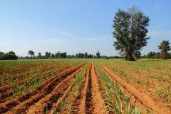 сахарный тростник Стоковое Изображение