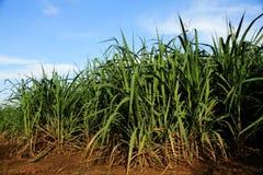 Сахарный тростник Стоковая Фотография RF