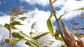 Сахарный тростник акции видеоматериалы