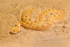 Сахарская horned гадюка пустыни, cerastes Cerastes, песок, северная Африка Supraorbital стоковая фотография rf