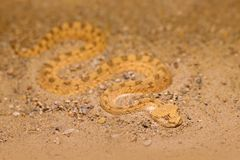 Сахарская horned гадюка пустыни, cerastes Cerastes, песок, северная Африка Supraorbital стоковые изображения rf