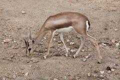 Сахарские dorcas Gazella газеля dorcas Стоковые Фотографии RF