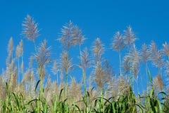сахар заплаты тросточки Стоковые Фотографии RF