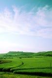 сахар зеленого цвета поля тросточки Стоковые Изображения