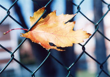 сахар клена листьев Стоковые Изображения
