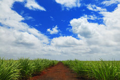 сахар плантации Стоковые Фотографии RF