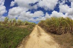 сахар поля тросточки Барбадосских островов Стоковые Фотографии RF