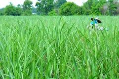 сахар поля тросточки Стоковое фото RF