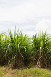 сахар поля тросточки Стоковые Фотографии RF
