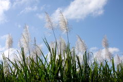 сахар поля тросточки Стоковое Изображение