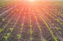 сахар урожая свеклы близкий вверх Стоковые Изображения RF