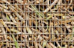 сахар хлебоуборки крупного плана тросточки Стоковая Фотография RF