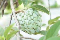Сахар Яблоко (яблоко заварного крема, Annona, sweetsop) Стоковое Изображение RF