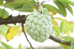 Сахар Яблоко (яблоко заварного крема, Annona, sweetsop) Стоковые Изображения