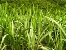сахар 3 листьев Стоковые Фото