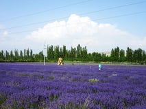 Сад лаванды Стоковые Фото