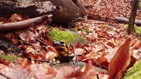 Саламандр вползая на весне коричневой ситовины листьев предыдущей в лесах горы акции видеоматериалы