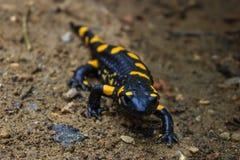 Саламандр огня в его окружающей среде Стоковое фото RF