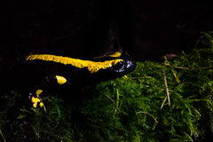 Саламандр огня Стоковая Фотография
