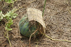 Сад арбуза дома Стоковое Фото