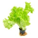 Салат в баке на белой предпосылке Стоковое фото RF