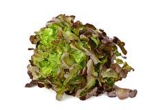 Салат лист дуба изолированный на белой предпосылке стоковая фотография rf