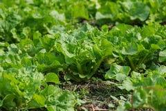 Салат, который выросли в огороде Стоковое Изображение RF
