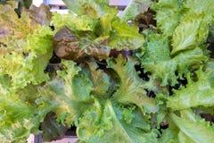 Салат красного дуба стоковое изображение rf