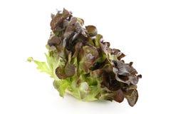 Салат красного дуба Стоковые Фото