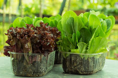 Салат, мангольд, шпинат, салат кресс-салата и очень ценное засаживают его едят и варят много различные салаты Стоковая Фотография