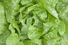 Салат масла головной Стоковое Изображение