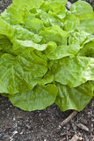 Салат масла, который головной выросли в саде. Стоковая Фотография RF
