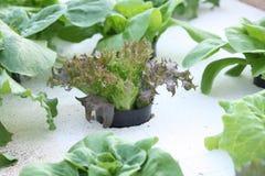 Салат младенца hydroponic Стоковое фото RF