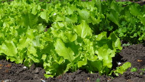 Салат от сада Стоковое фото RF