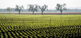 Салат поля с оливковыми деревами Стоковые Фотографии RF